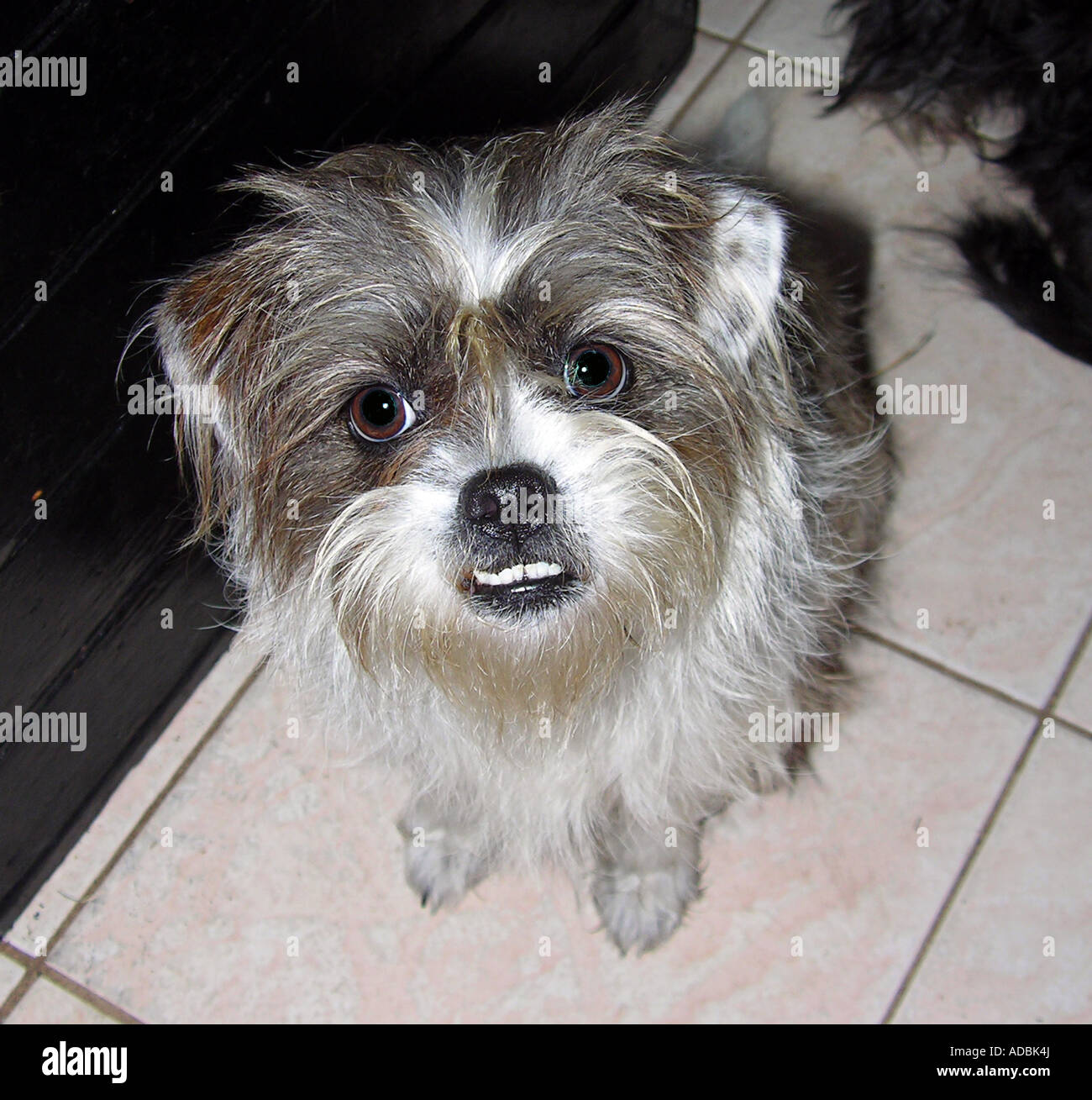 Jack Russell Shih Tzu Mix Puppy Looking Stock Photo 13368929 Alamy