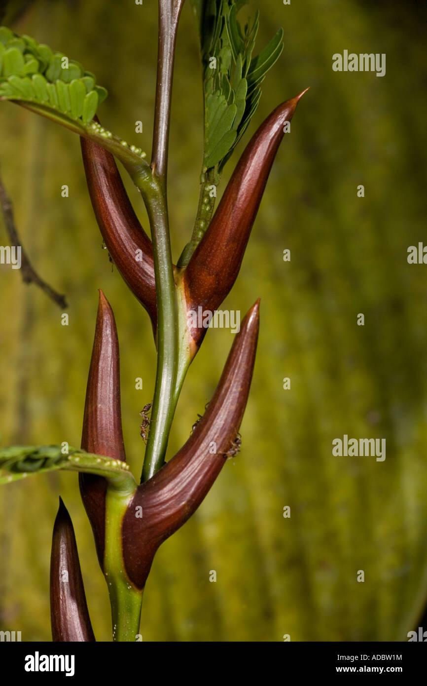 Acacia Ants Pseudomyrmex Ferruginea On Bullhorn Acacia Acacia Stock