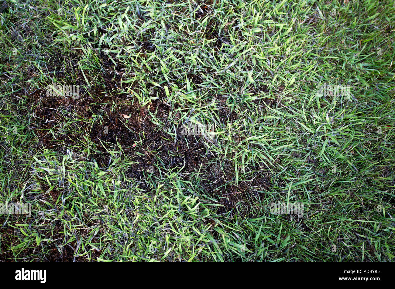Photograph demonstrating the use of lawn sand in spring to kill moss