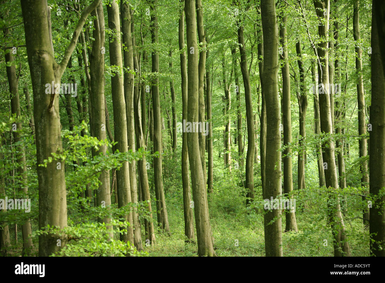 Trees in a green forrest verdent lush english woodland - Stock Image