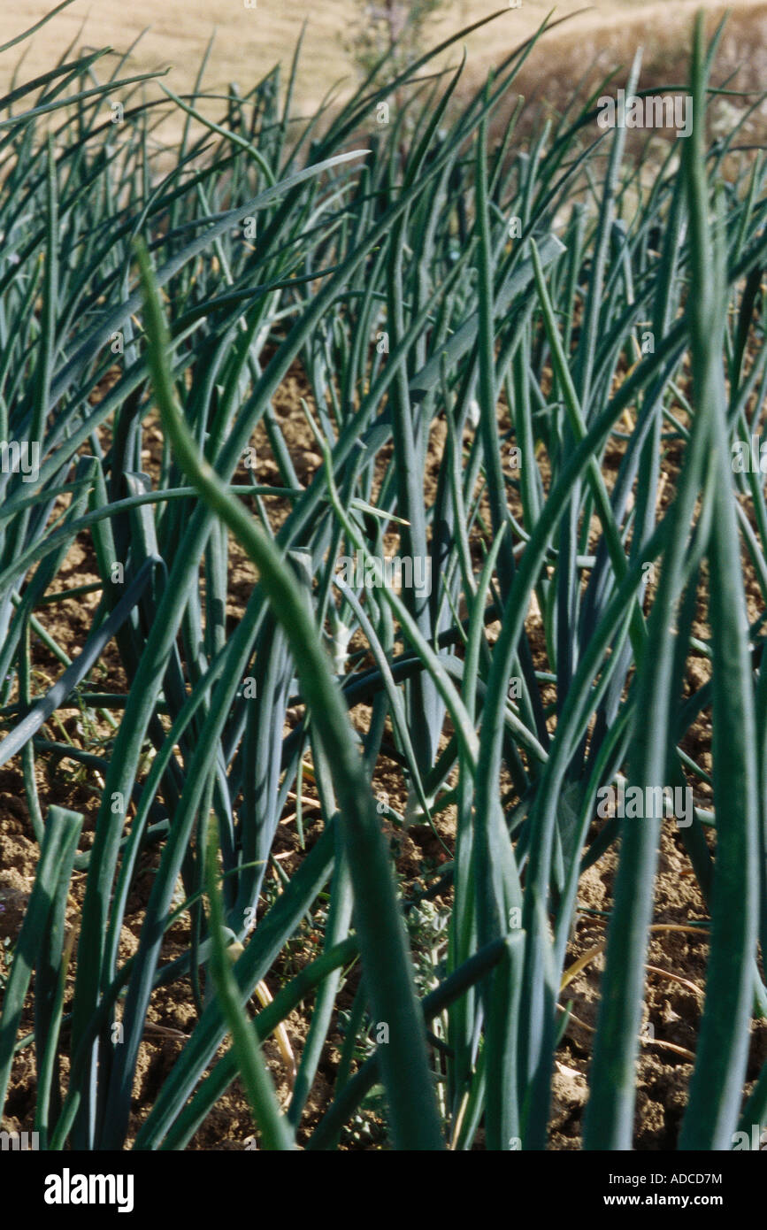 Onions growing in field, close-up Stock Photo