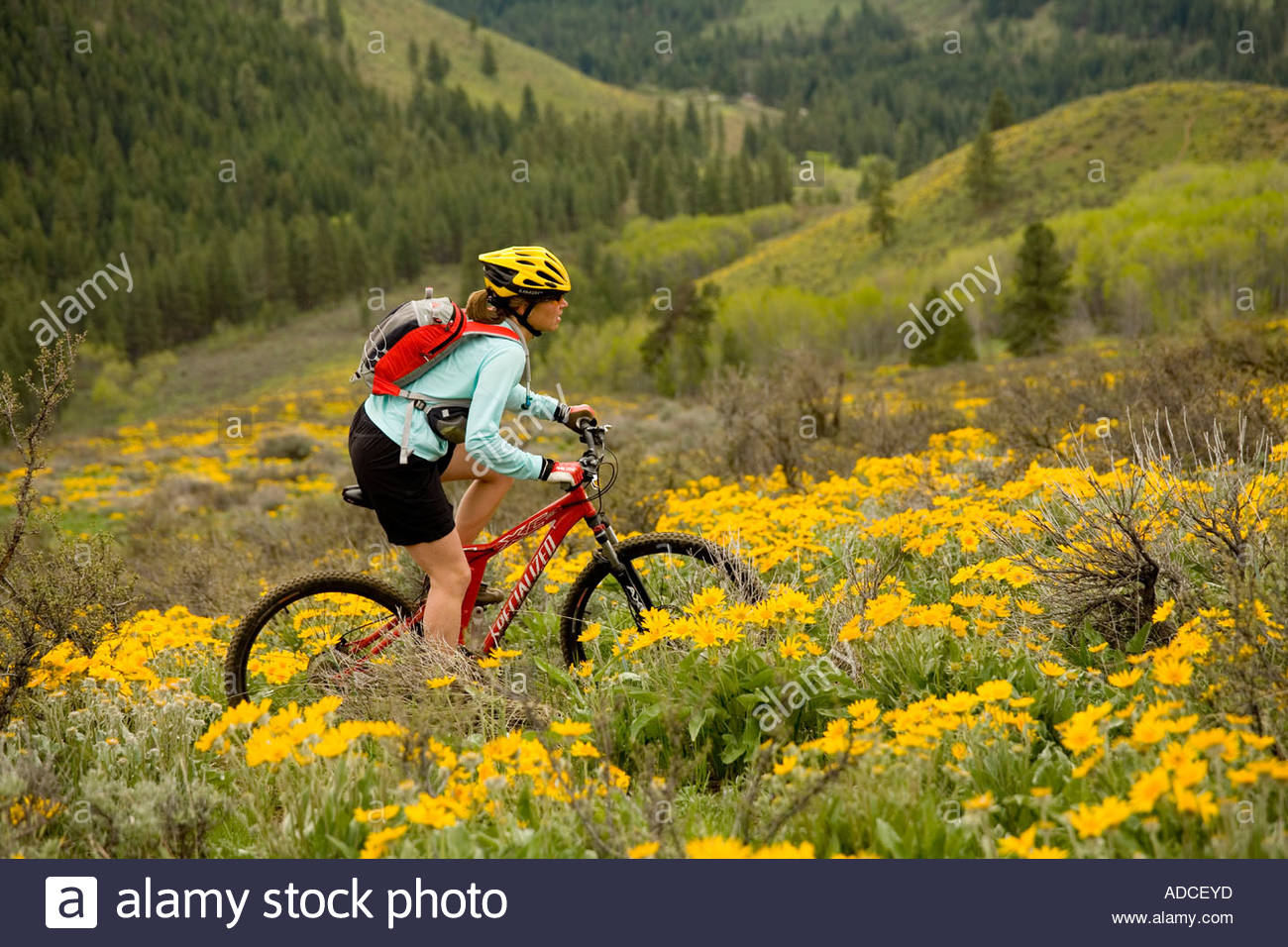Woman mountain biking through the spring balsam root on Buck Mountain Methow Valley Washington - Stock Image