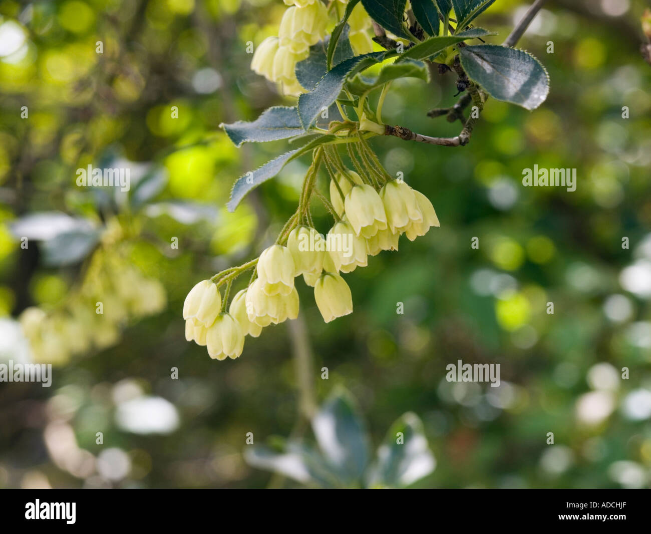 Cup Shaped Yellow Flowers Stock Photos Cup Shaped Yellow Flowers