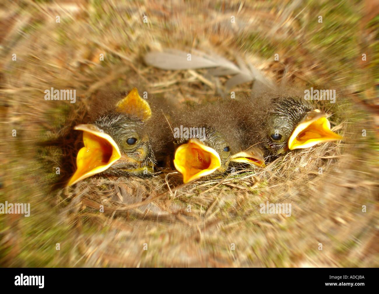 young birds in a nest Jungvögel im Nest - Stock Image