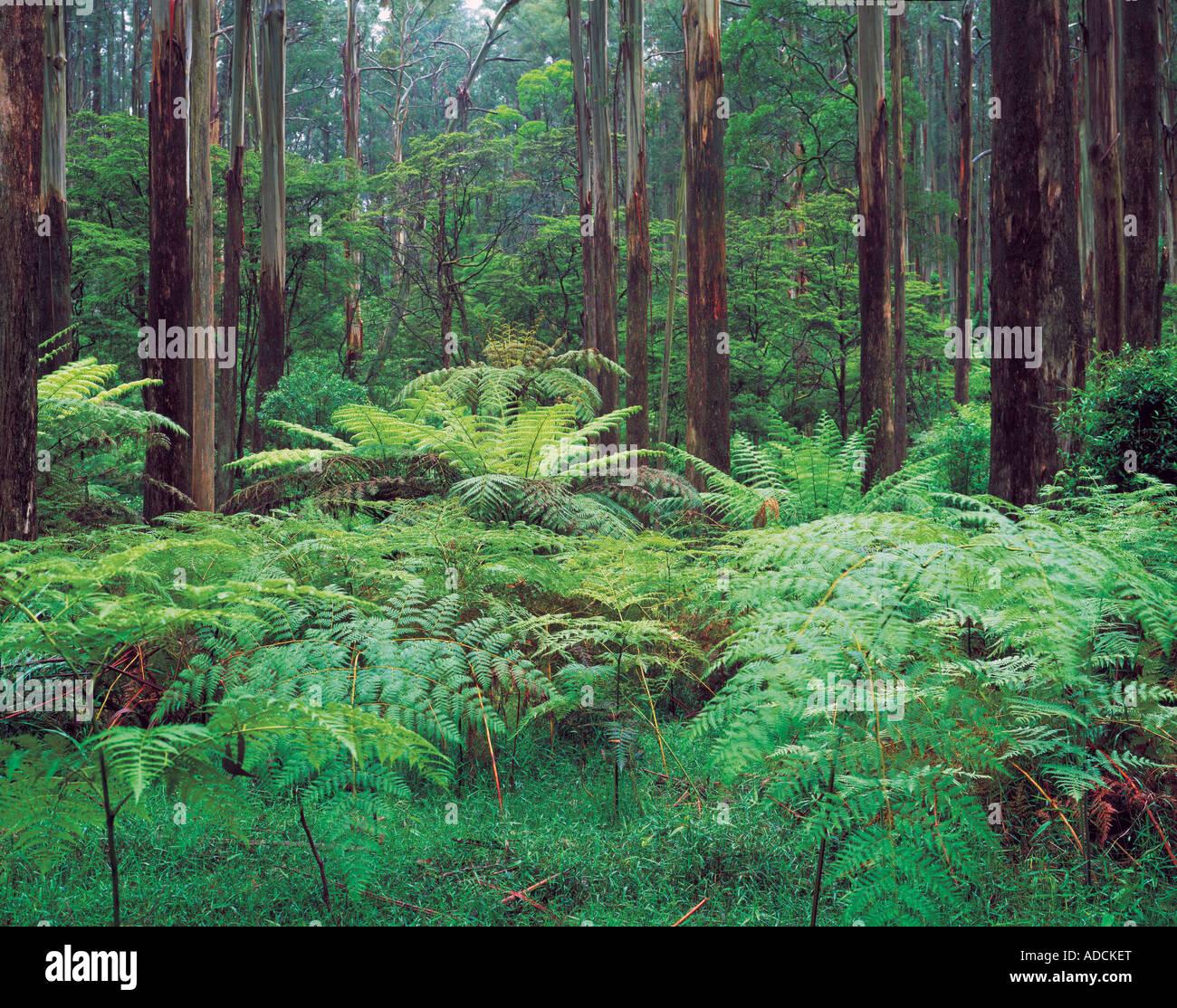 Ferns and Mountains Ash Eucalyptus regnans Dandenong Ranges National Park Victoria Australia - Stock Image