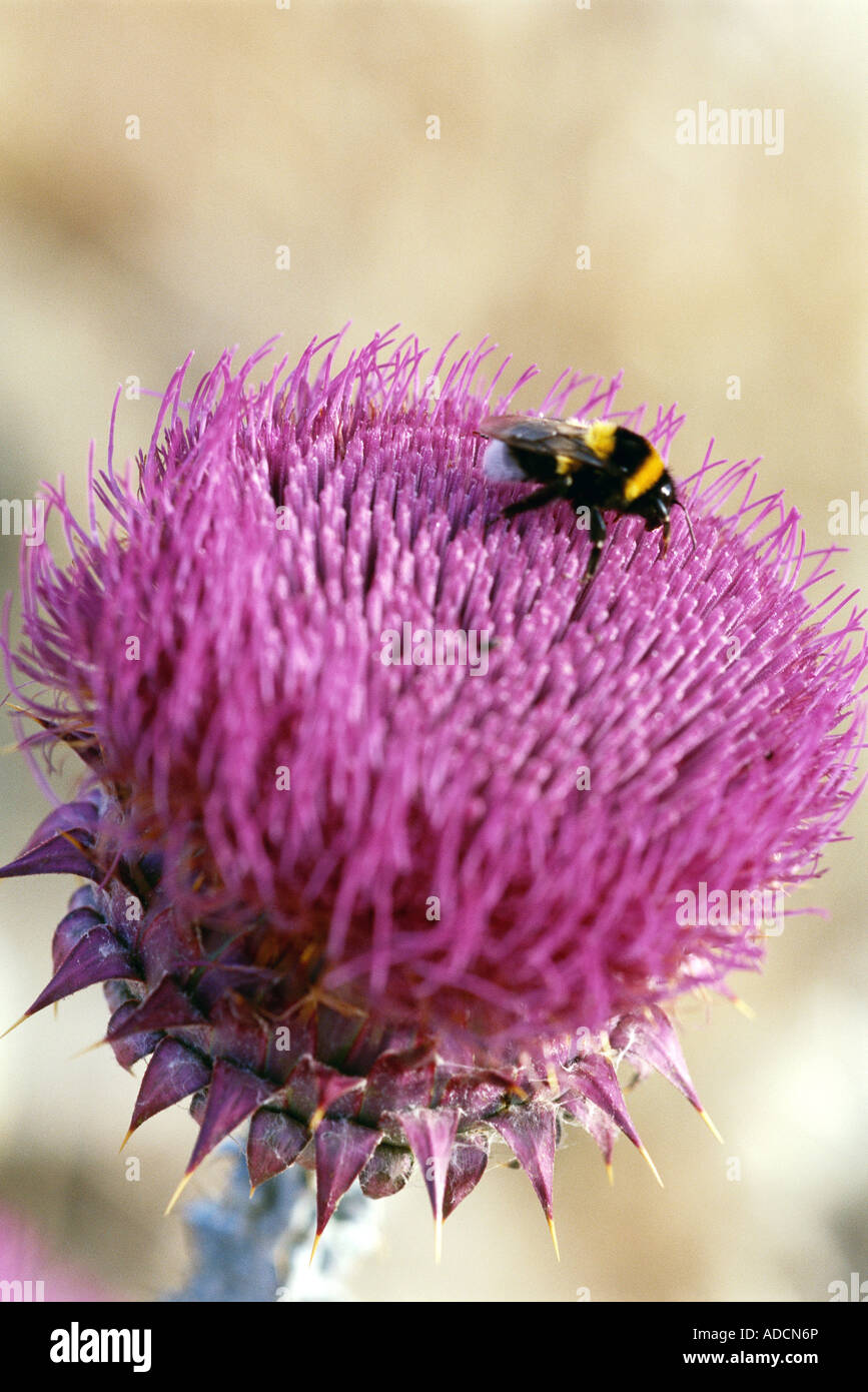 Bee on thistle - Stock Image