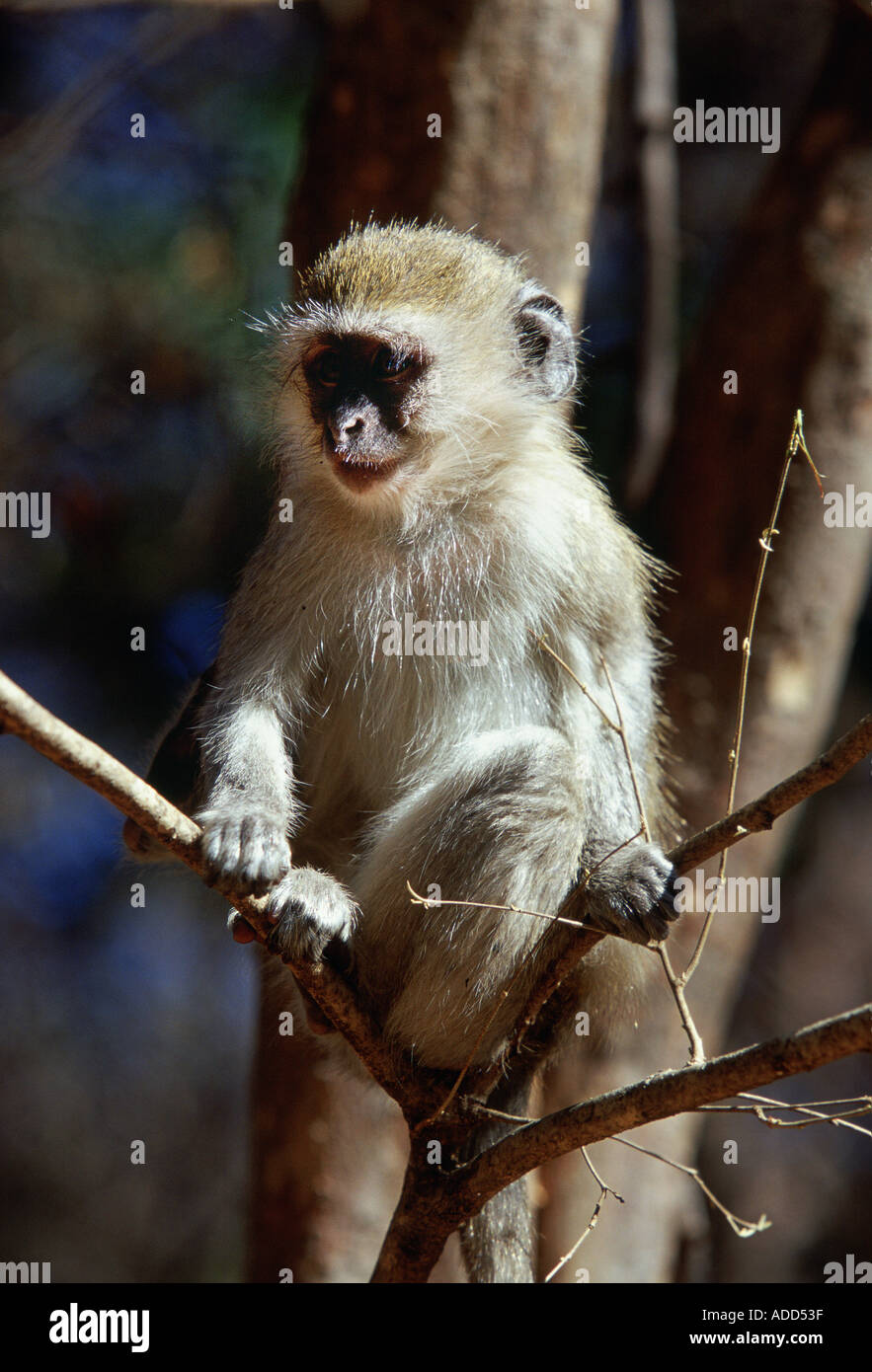 Young vervet monkey perched on tree branch in Zimbabwe Africa - Stock Image