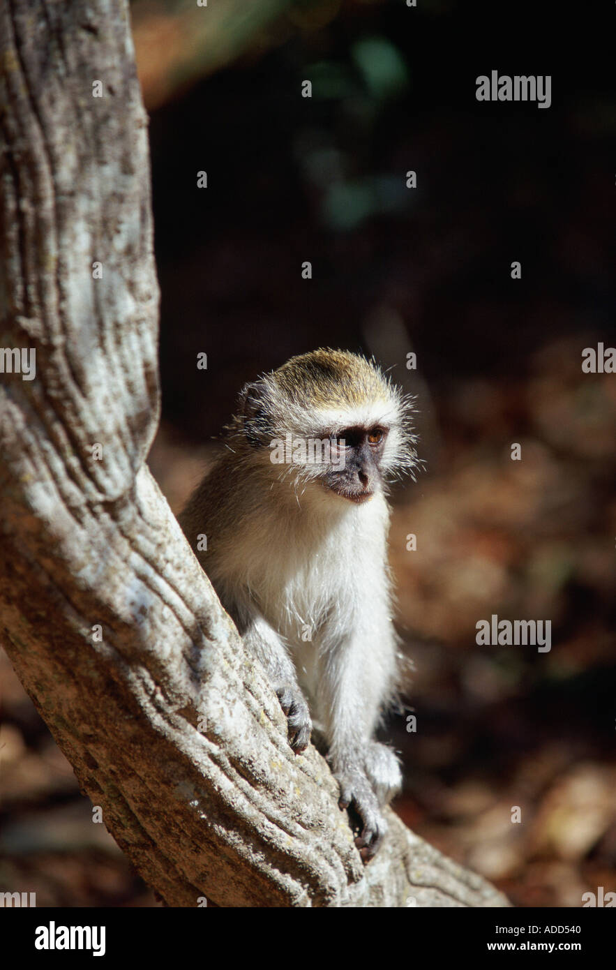 Young vervet monkey on a tree branch in Zimbabwe Africa - Stock Image