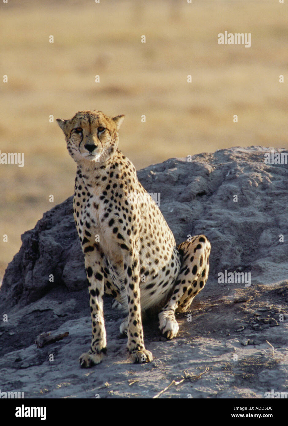 Cheetah using an old termite mound to watch for approaching prey in Moremi National Park Botswana Africa - Stock Image