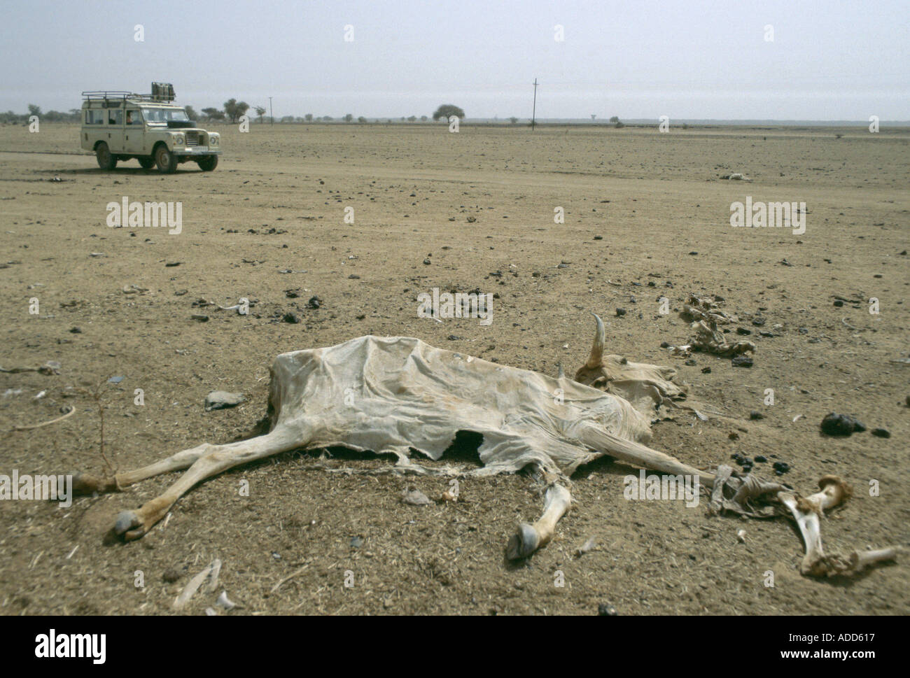 Drought in Burkina Faso White Land Rover 4 wheel drive vehicle drives past dried out carcass - Stock Image