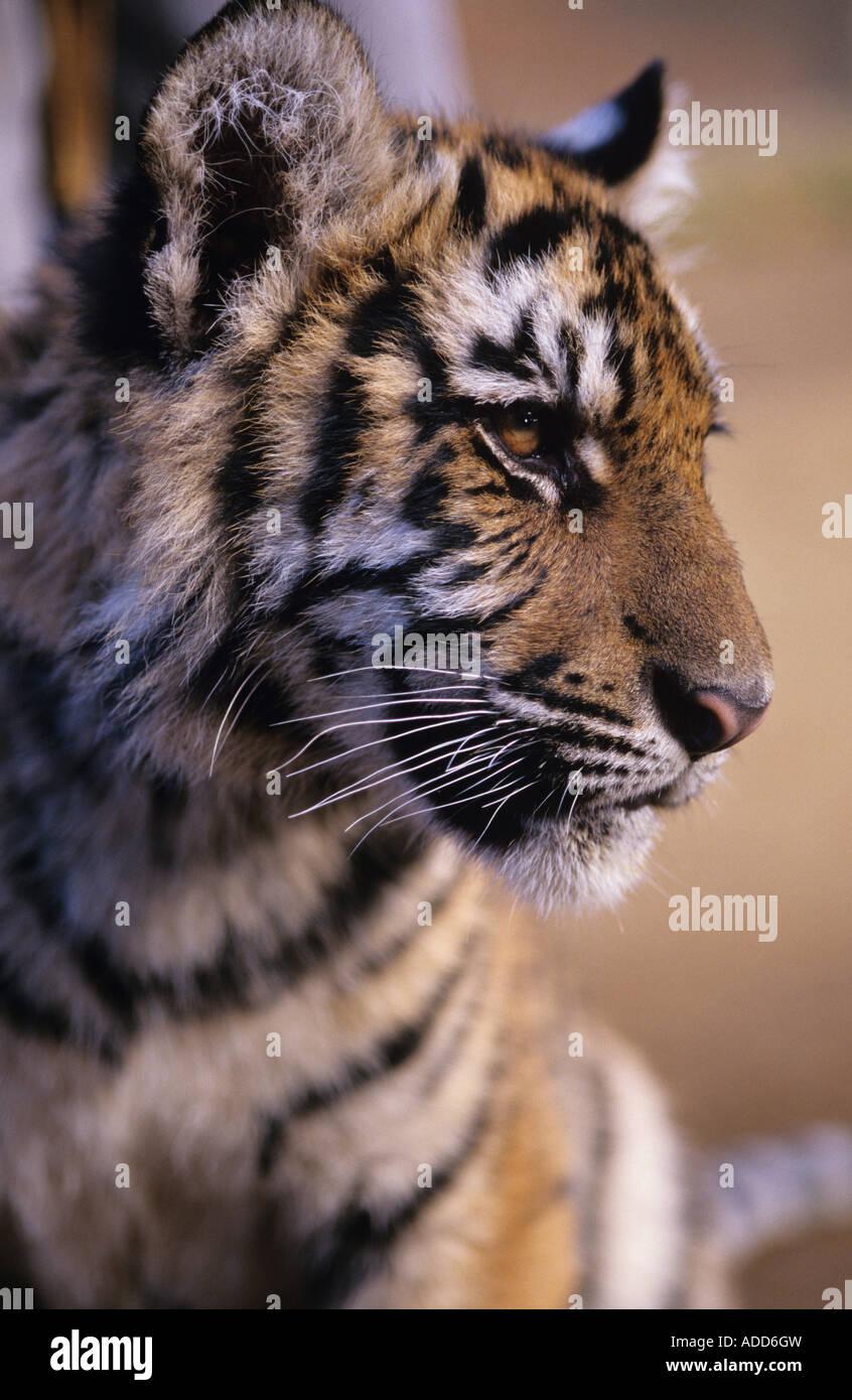 Baby Tiger cub at the Game Park Bandon Oregon State USA - Stock Image