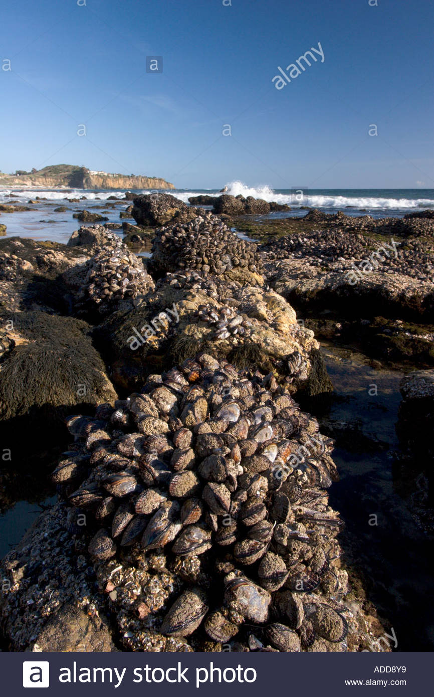 Exposed Mussels at Low Tide Crystal Cove State Park Orange County California 0e4379bcf