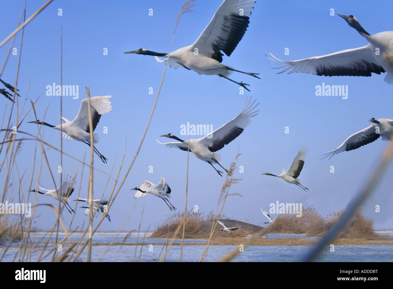 Red-Crowned cranes Heilongjiang Province China - Stock Image
