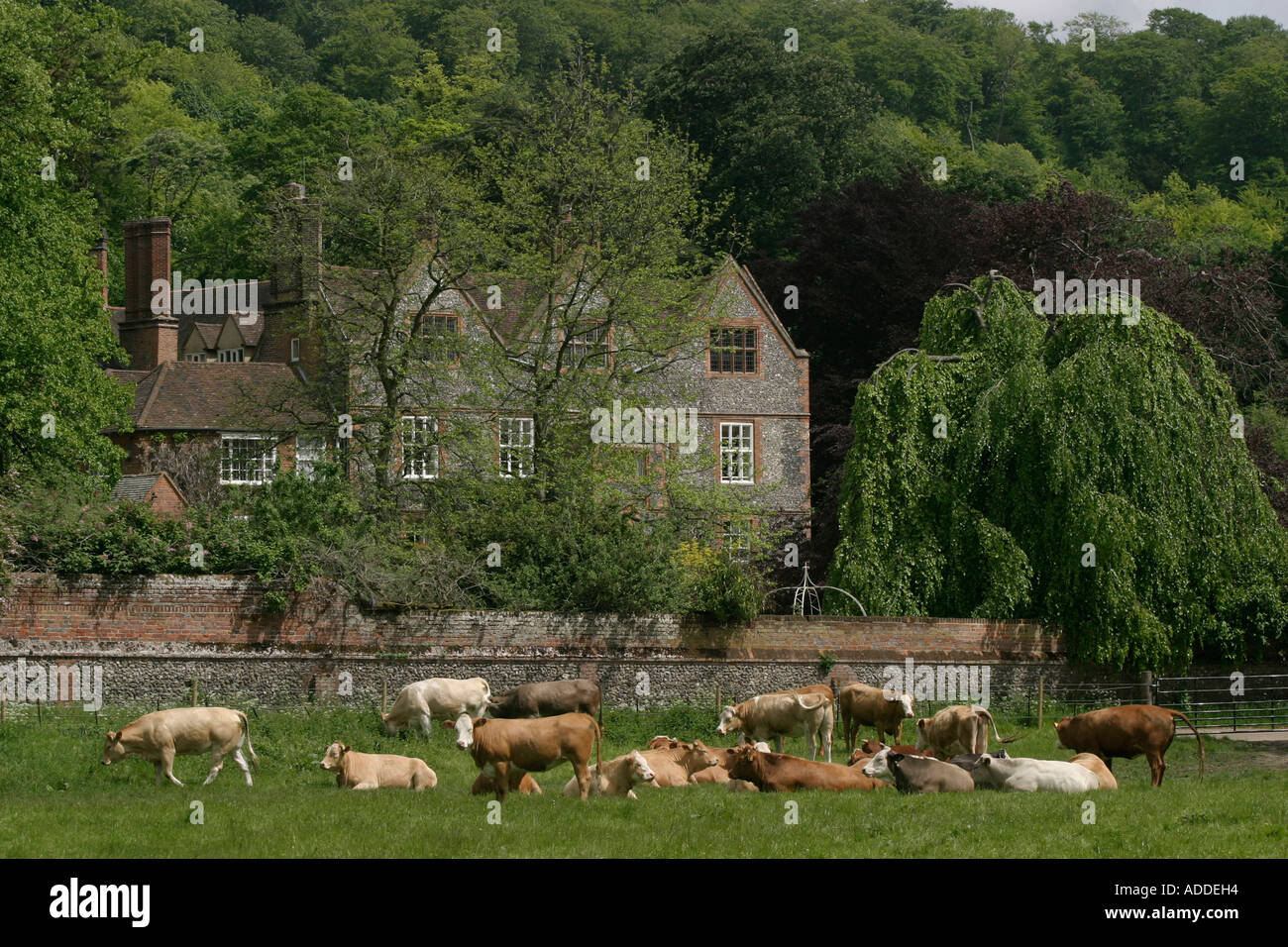 Cows graze in front of Hambleden Manor where Henry Smith's mother Italian born Maria Viscountess of Hambleden still lives - Stock Image