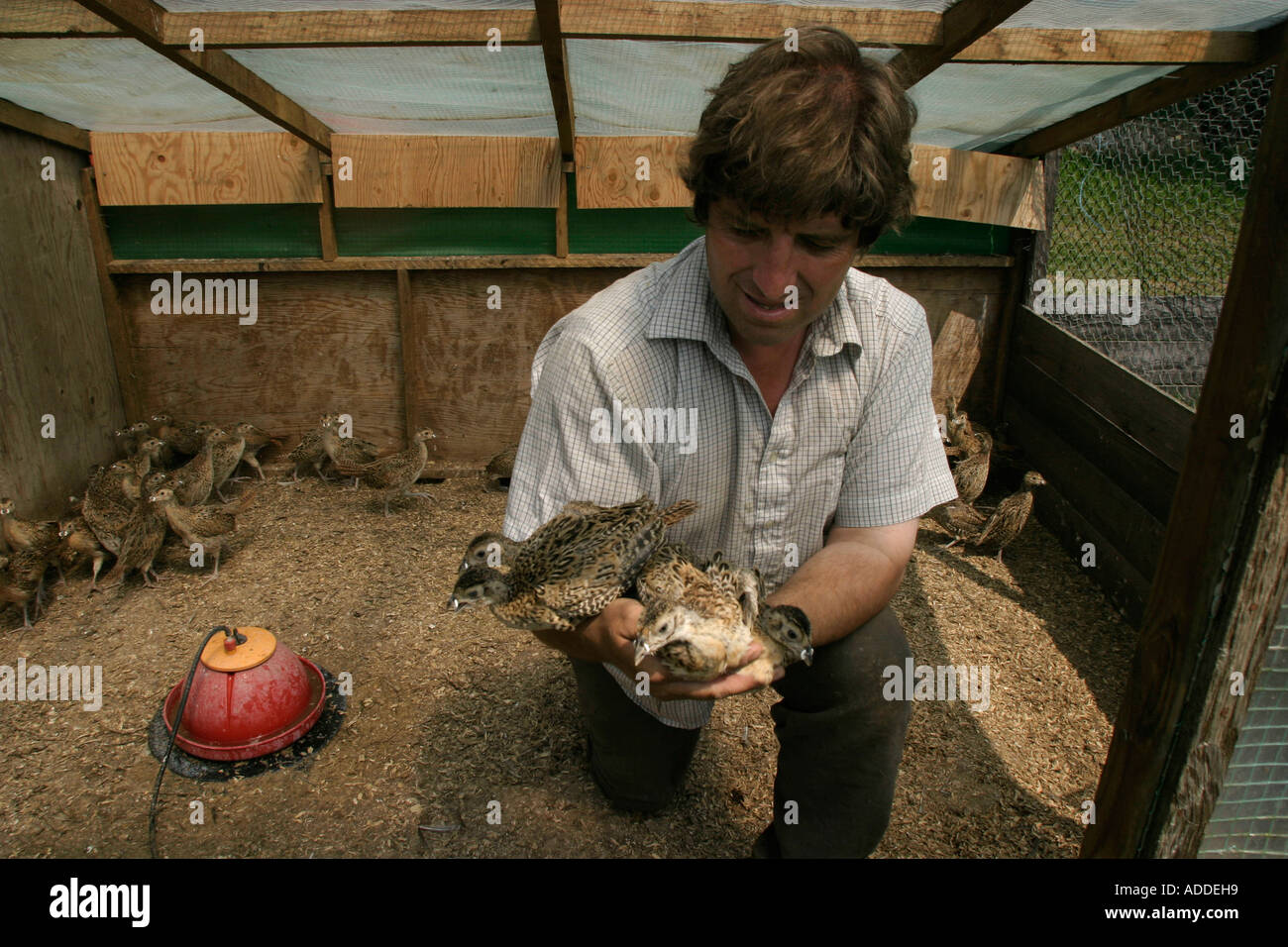 Pheasant breeder at the Hambleden estate with a handful of young birds. - Stock Image