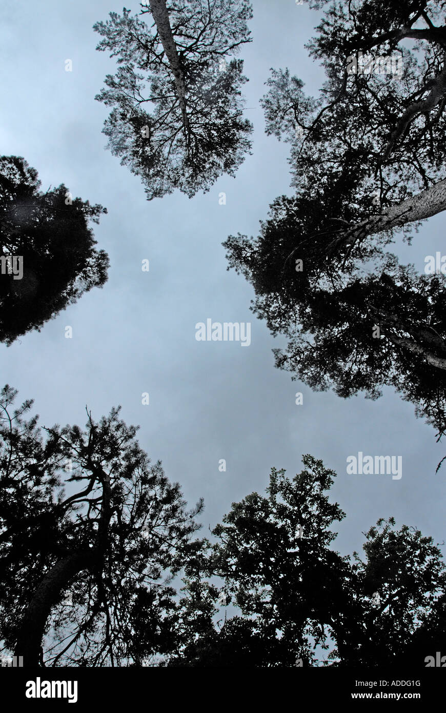Scots pine trees. Strath Glass, Inverness-shire, Scotland, U.K., Europe. - Stock Image