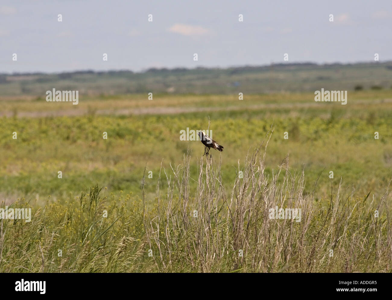 Male Bobolink in scenic Saskatchewan Canada - Stock Image