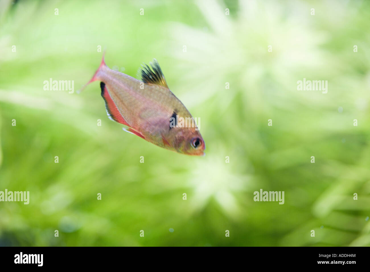 Fish in aquarium - Stock Image