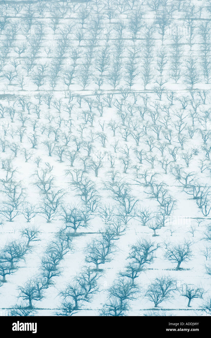 Orchards in snow, full frame - Stock Image