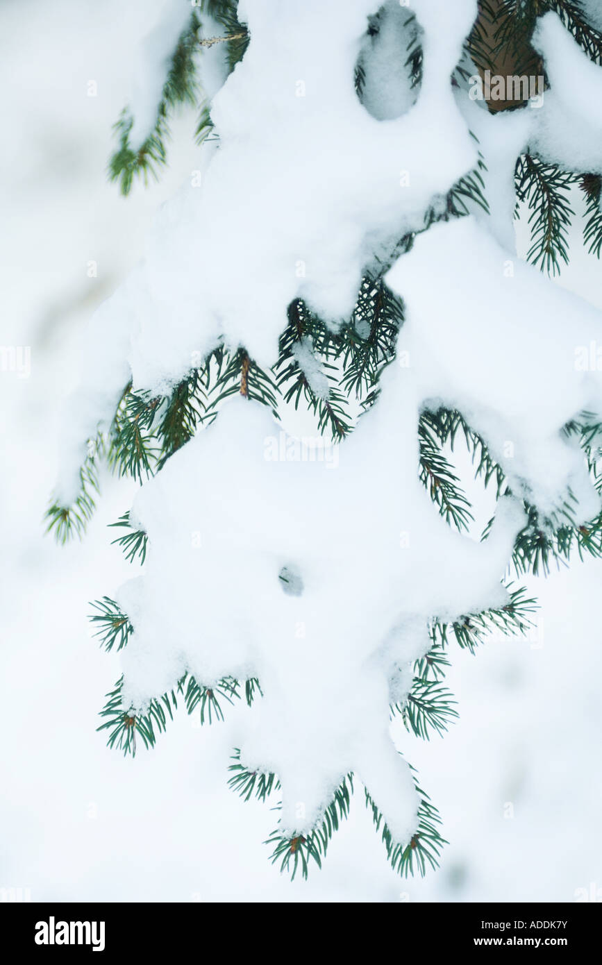 Snow-covered fir branches - Stock Image