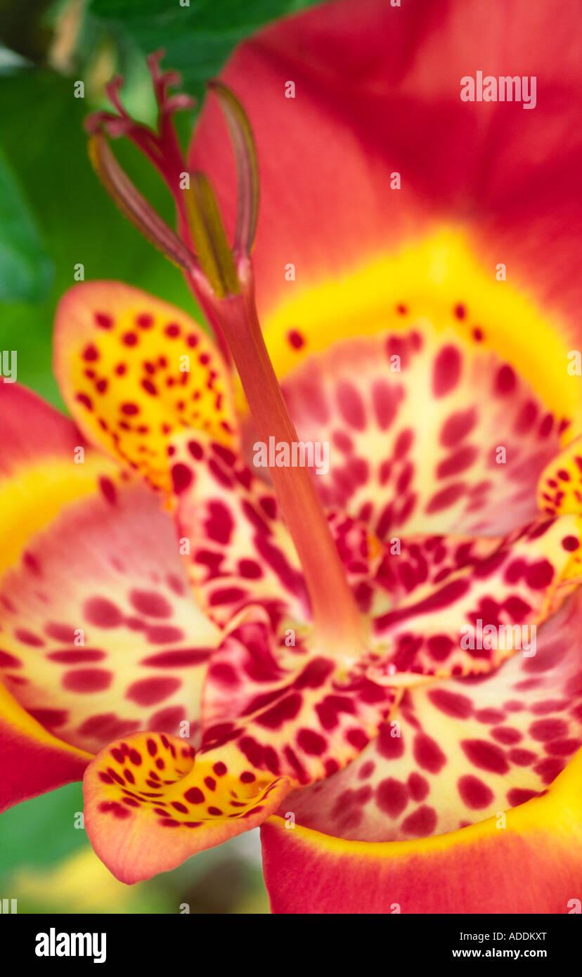 Exotic flowers Tigridia Iridaceae Tiger Flower Iris like summer flowering bulbs short lived flowers Half Hardy Scotland - Stock Image