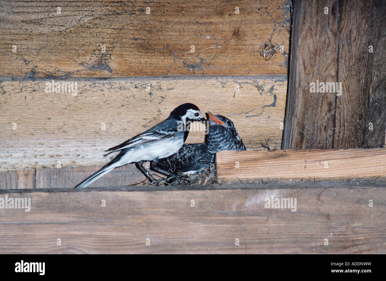 White Wagtail feeding young in nest in barn Brood parasit Rothenthurm Switzerland May 1991 - Stock Image