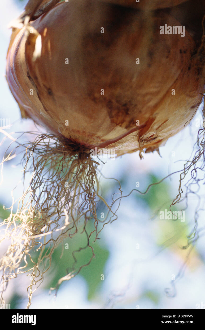 Onion, bulb and roots, close-up - Stock Image