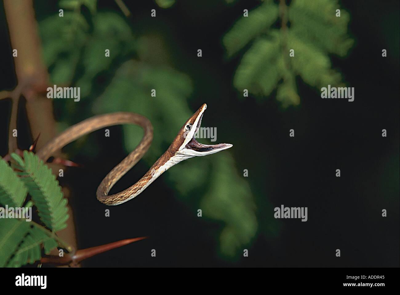 Schlange reisst das Maul auf - Stock Image