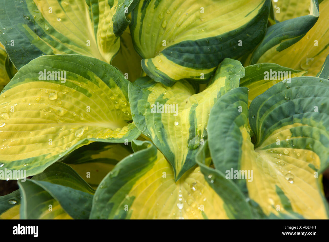 Plant With Large Yellow And Green Leaves Stock Photo 7652624 Alamy