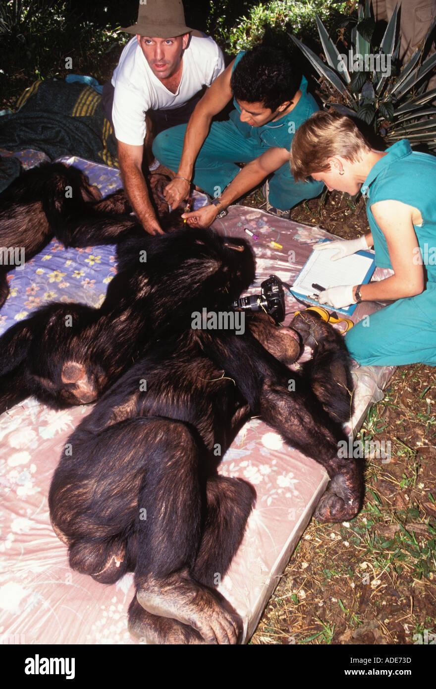 Chimpanzee Pan troglodytes Veterinarian examining anaesthetised chimp and preparing for translocation Chimfunshi Chimpanzee - Stock Image