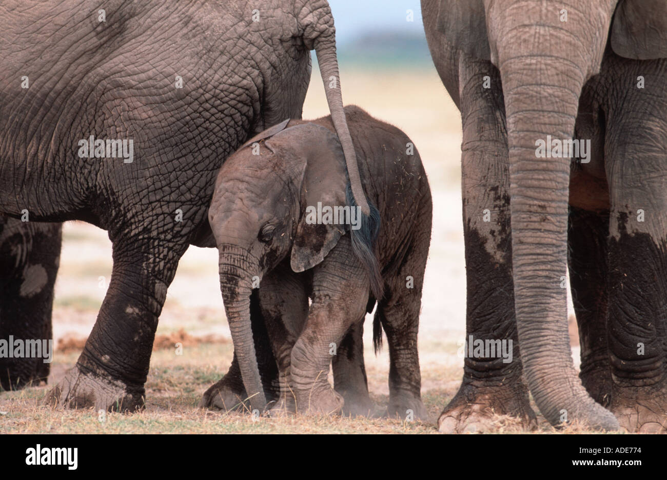 African elephant Loxodonta africana Breeding herd consisting of females and calves Amboseli National Park Kenya - Stock Image