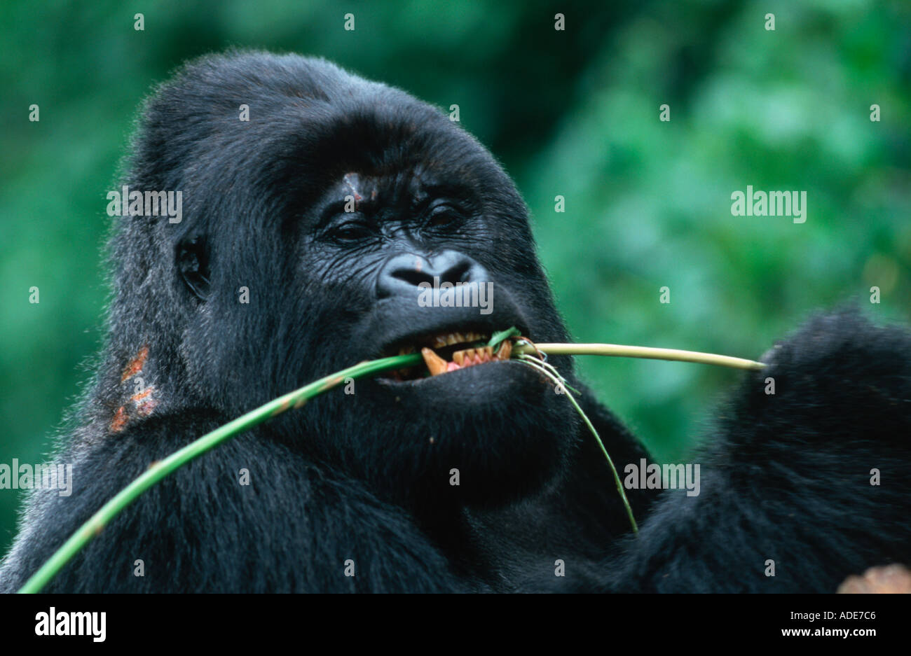 Mountain Gorilla Gorilla gorilla beringei Stem peeling is a favourite feeding technique Distribution Rwanda Uganda DRC P - Stock Image