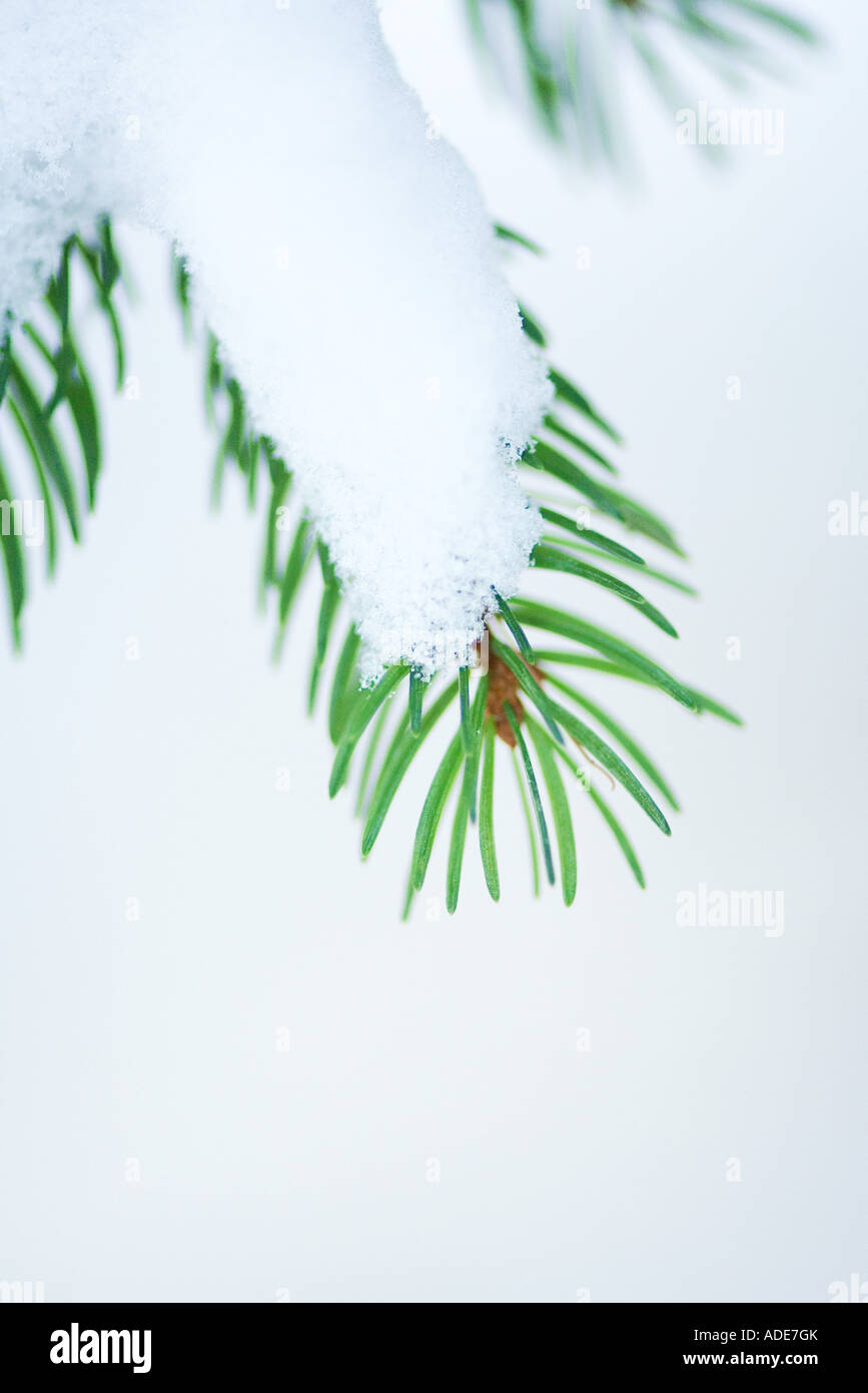 Snow on evergreen branch - Stock Image