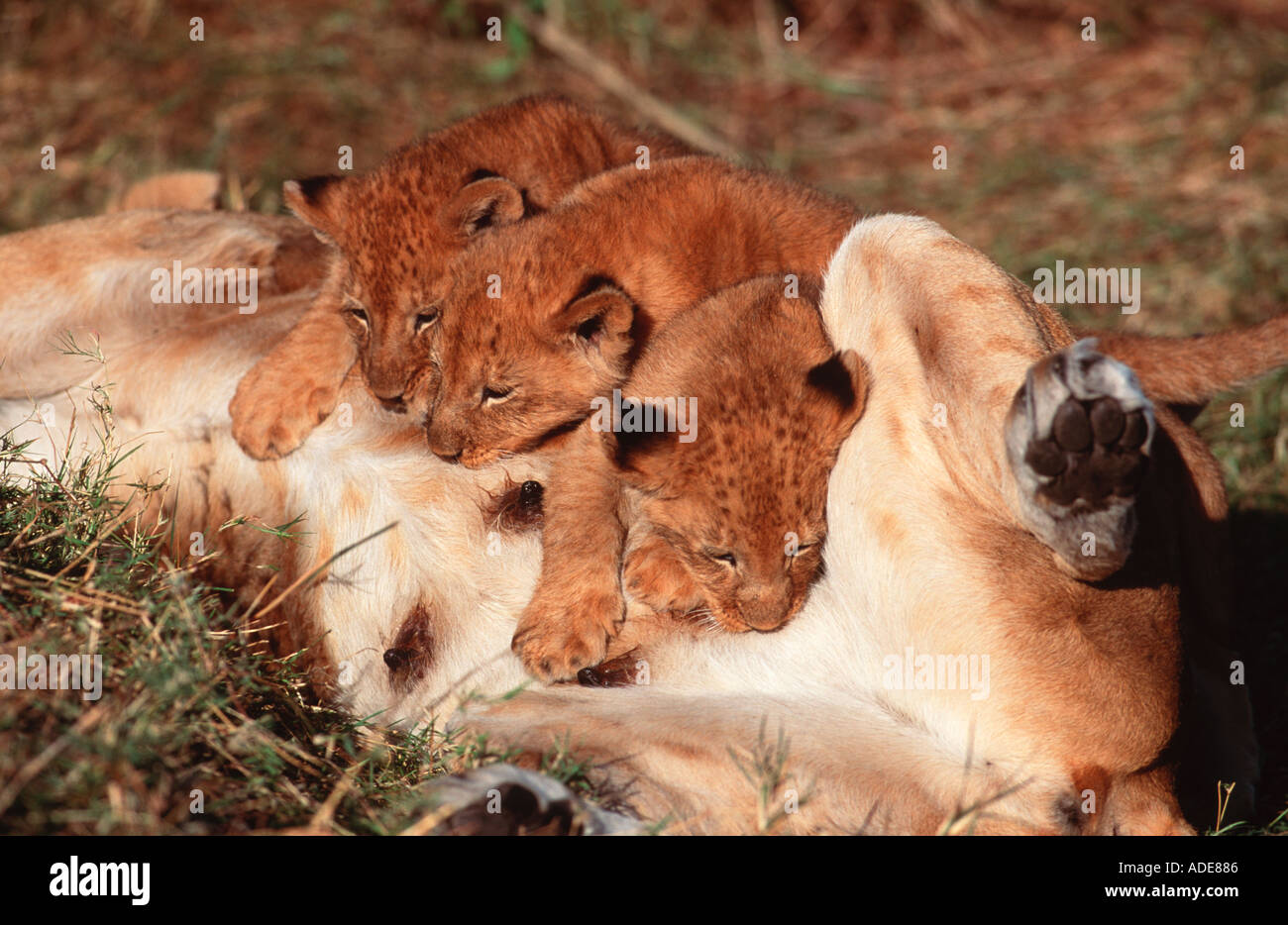 Lion Panthera leo Suckling cubs Africa - Stock Image