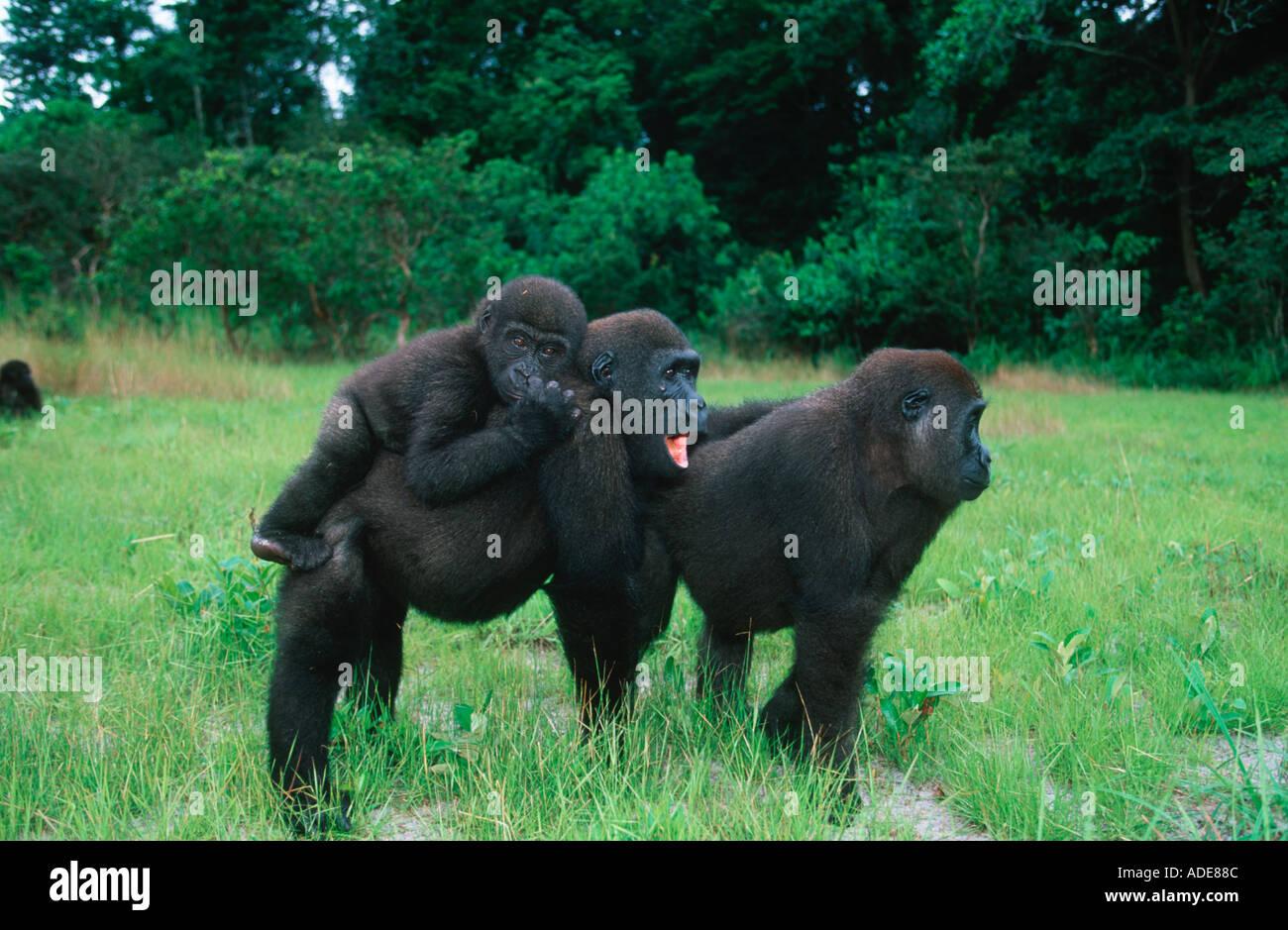 Western Lowland Gorilla Orphaned gorillas reintroduced into the wild Projet Protection des Gorilles Gabon Congo - Stock Image