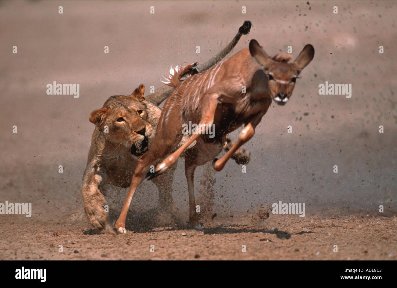 Lion Panthera leo Lioness tripping young kudu Etosha National Park Namibia - Stock Image