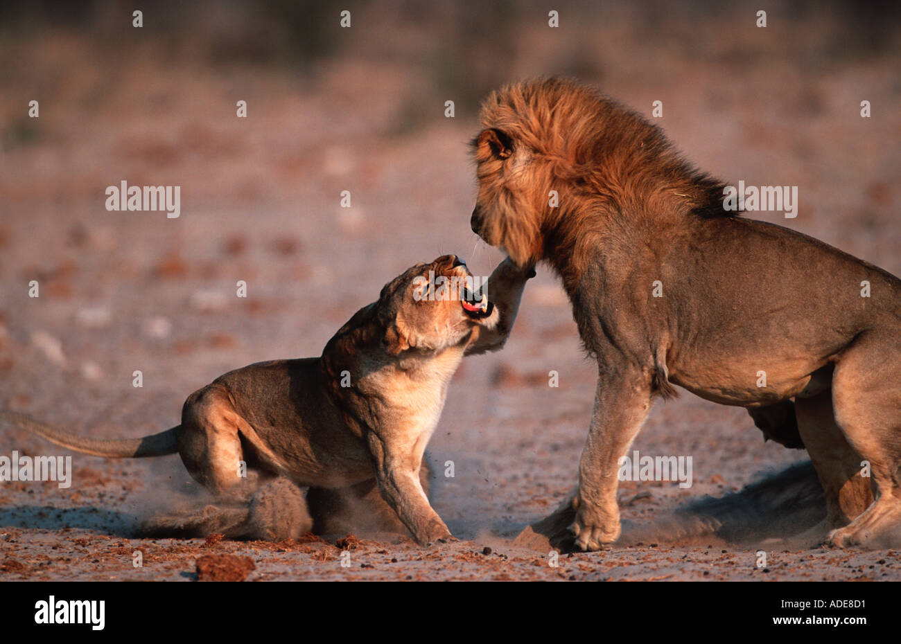Lion Panthera leo Male female greet with ritualised snarling Etosha N P Namiba - Stock Image