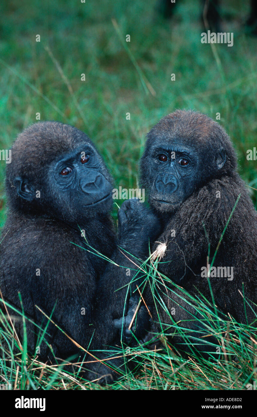 Western Lowland Gorilla Gorilla gorilla gorilla Orphaned gorillas reintroduced into the wild Projet Protection des Gorilles - Stock Image