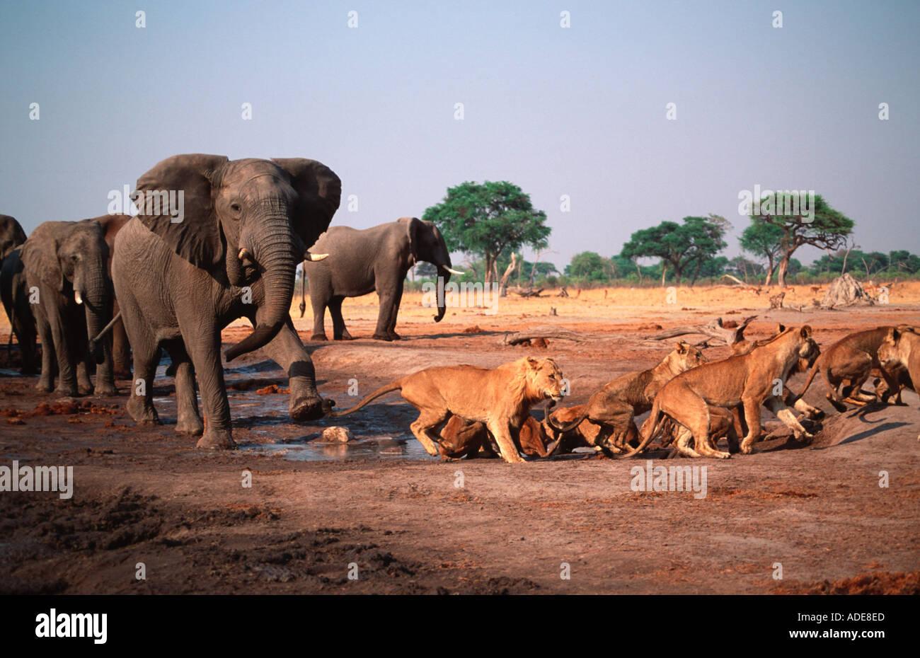 Lion Panthera leo Elephant bull charges lion pride at waterhole Chobe N P Botswana Africa Stock Photo