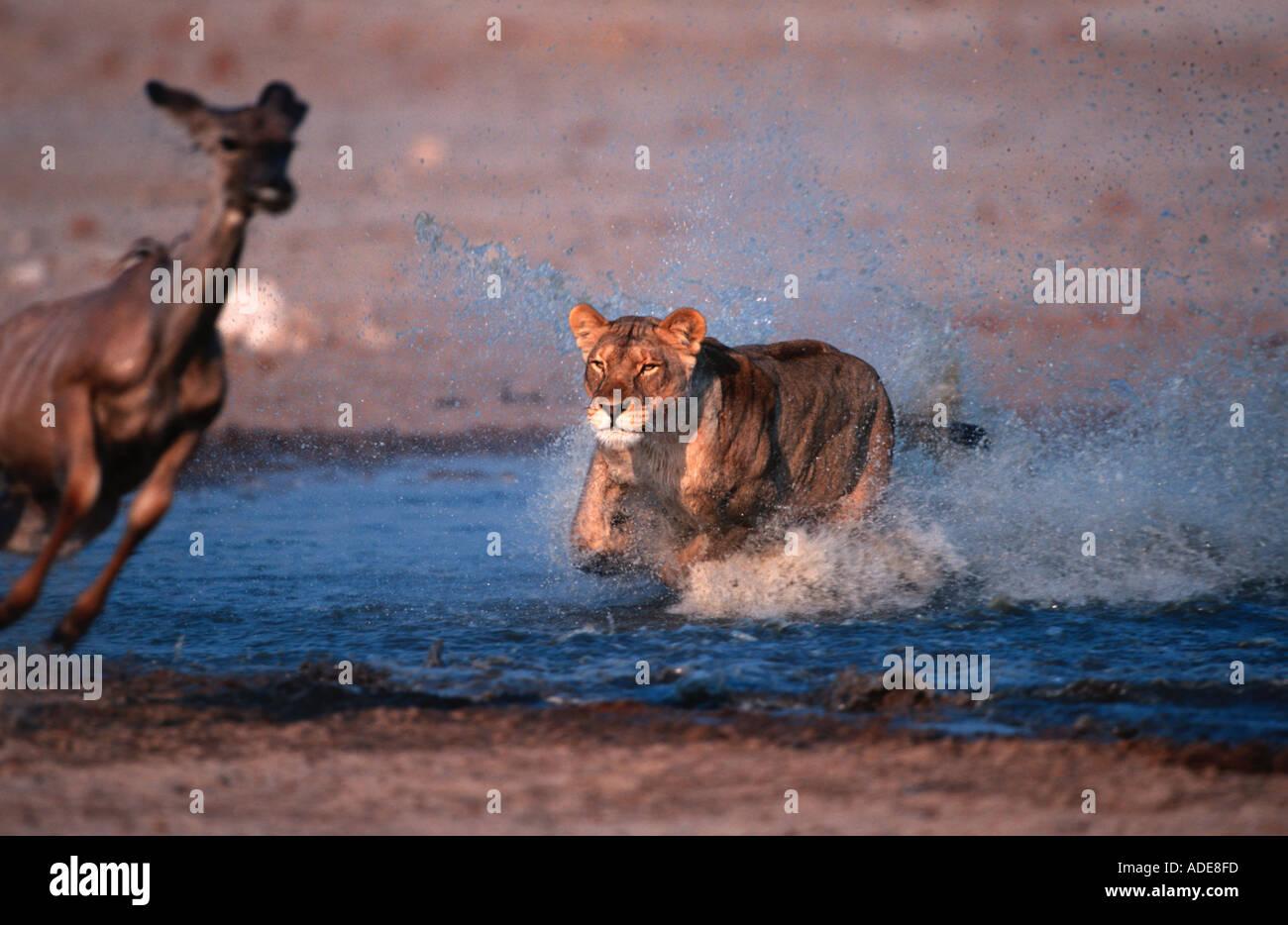 Lion Panthera leo Lioness attacking killing kudu Etosha N P Namibia Sub Saharan Africa - Stock Image