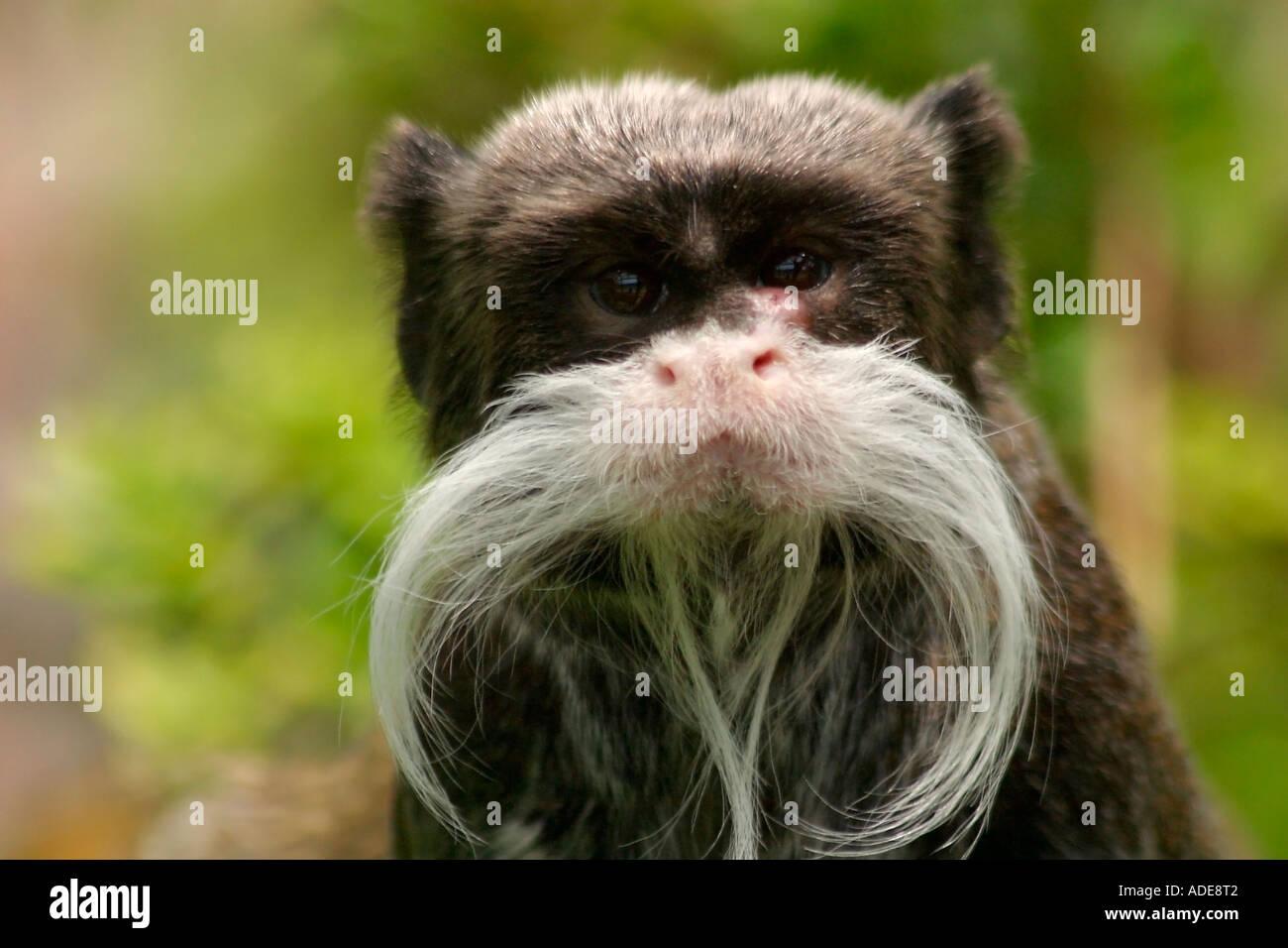 Emperor Tamarin monkey staring - Stock Image