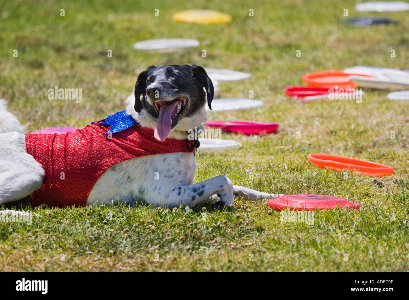 Happy dog resting on the grass and panting with many Frisbees lying all around it - Stock Image
