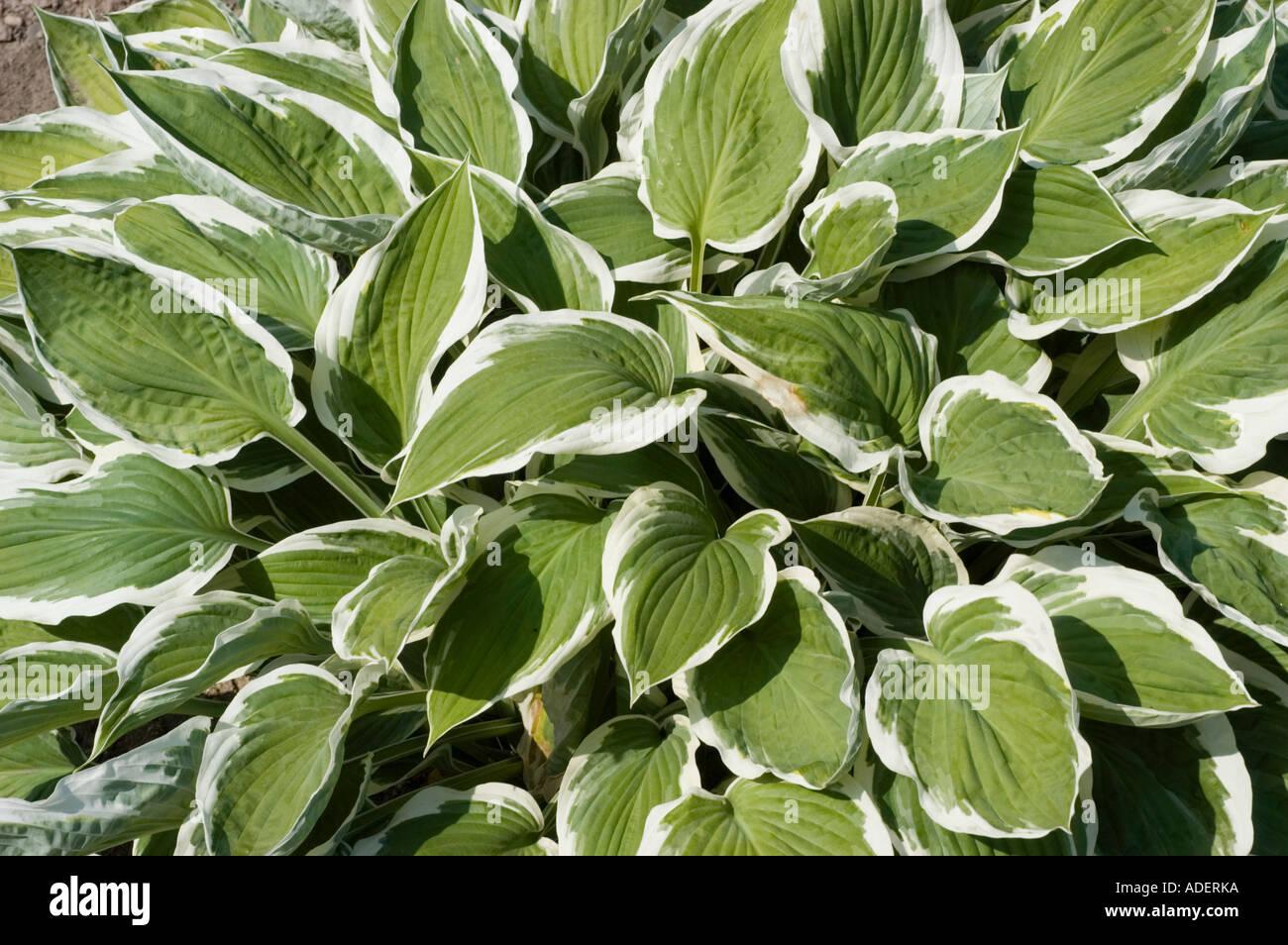 Hostaceae Hosta Zager White Edge Stock Photos Hostaceae Hosta