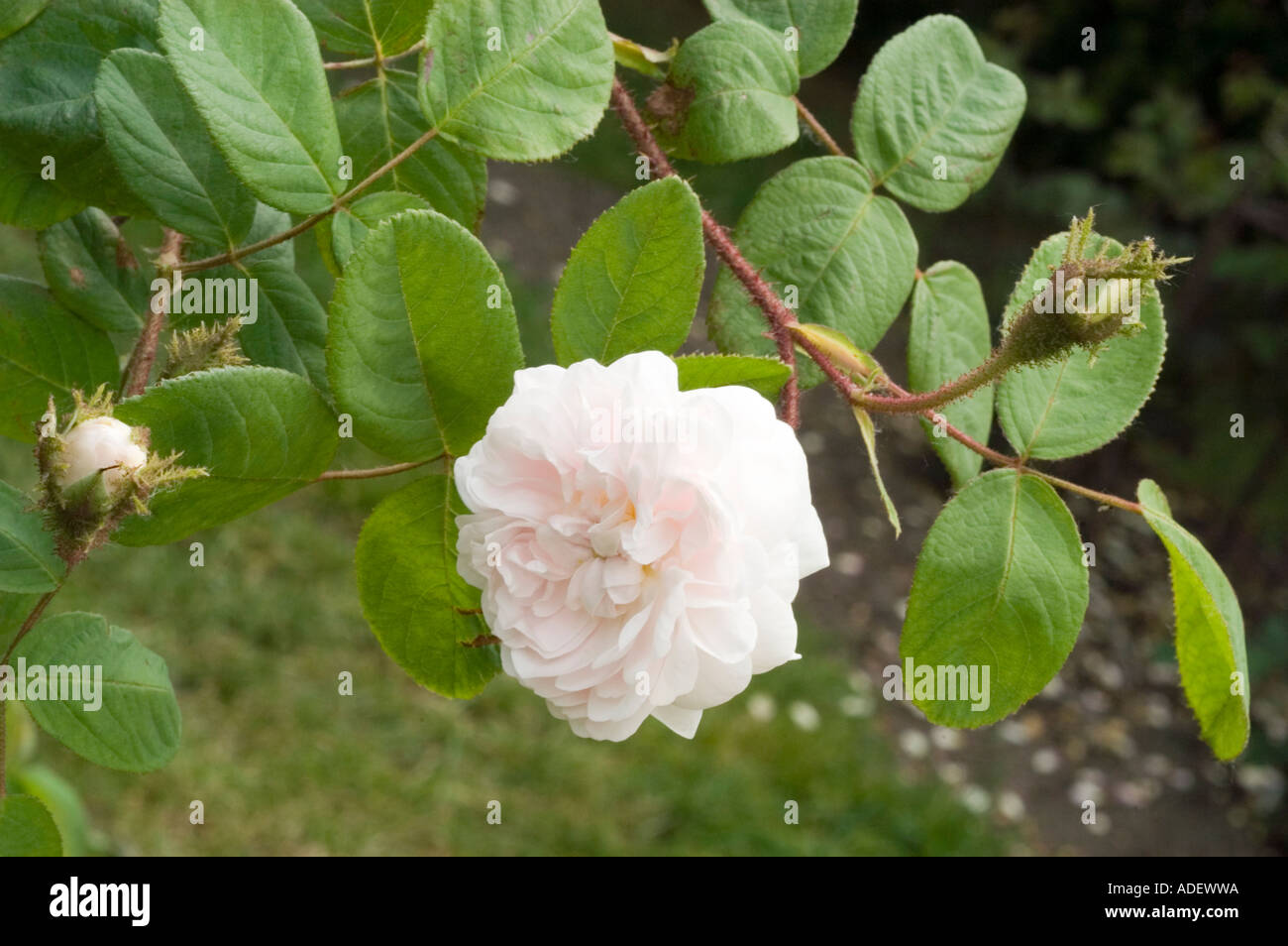 Rose Rosaceae Rosa x bifera remontanty Frau Karl Druschki or Snow Queen or White American Beauty or Reine des Neiges Stock Photo