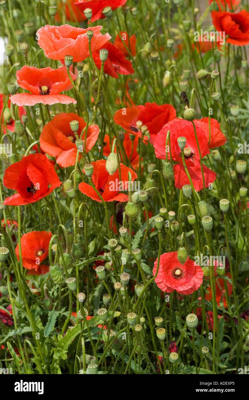 Medicinal Plant Opium Poppy Papaveraceae Papaver Somniferum Stock