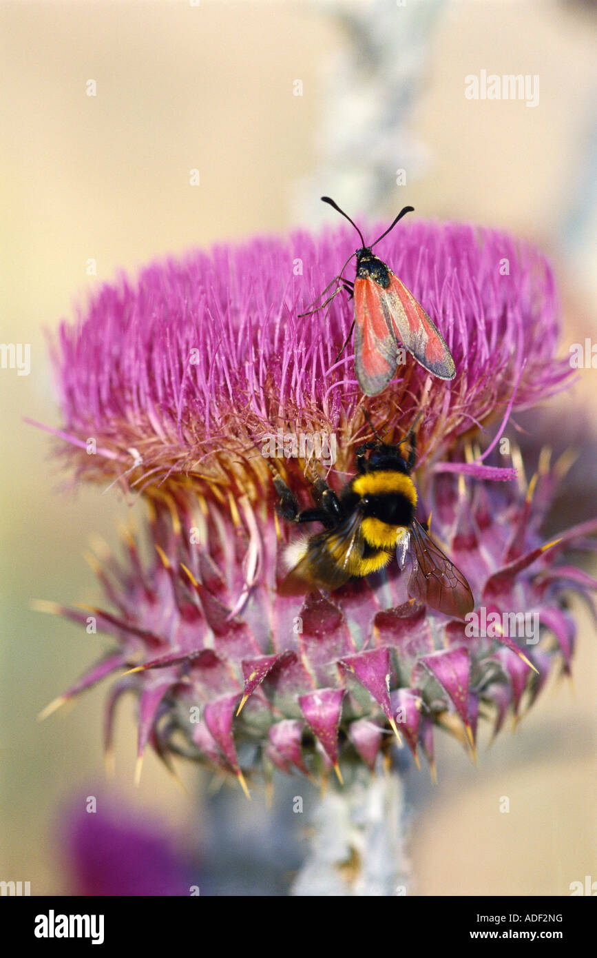 Insects on thistle flower - Stock Image