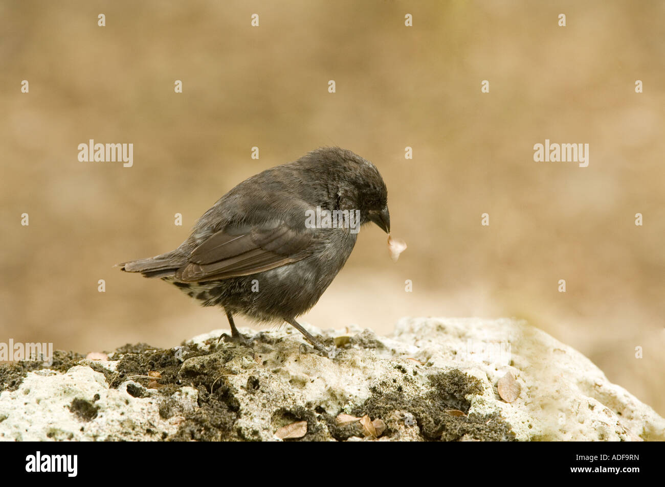 Immature Small-billed Ground Finch (Geospiza fuliginosa) searching for food Parte Alta Puerto Velasco Ibarra Floreana - Stock Image