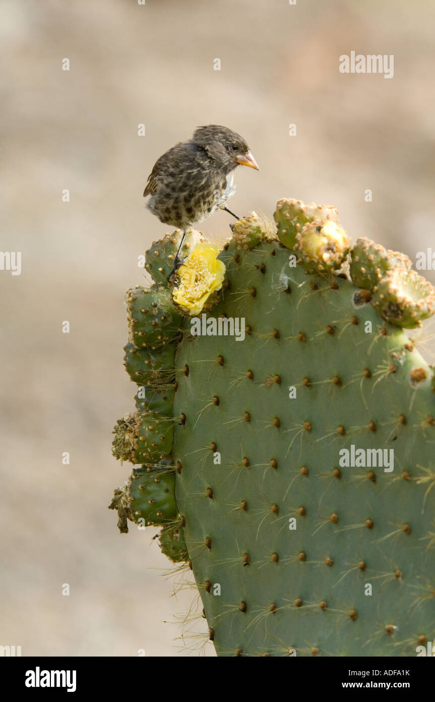 Sharp-beaked Ground Finch (Geospiza difficilis) feeding on Prickly Pear (Opuntia helleri) Darwin Bay Genovesa Galapagos - Stock Image
