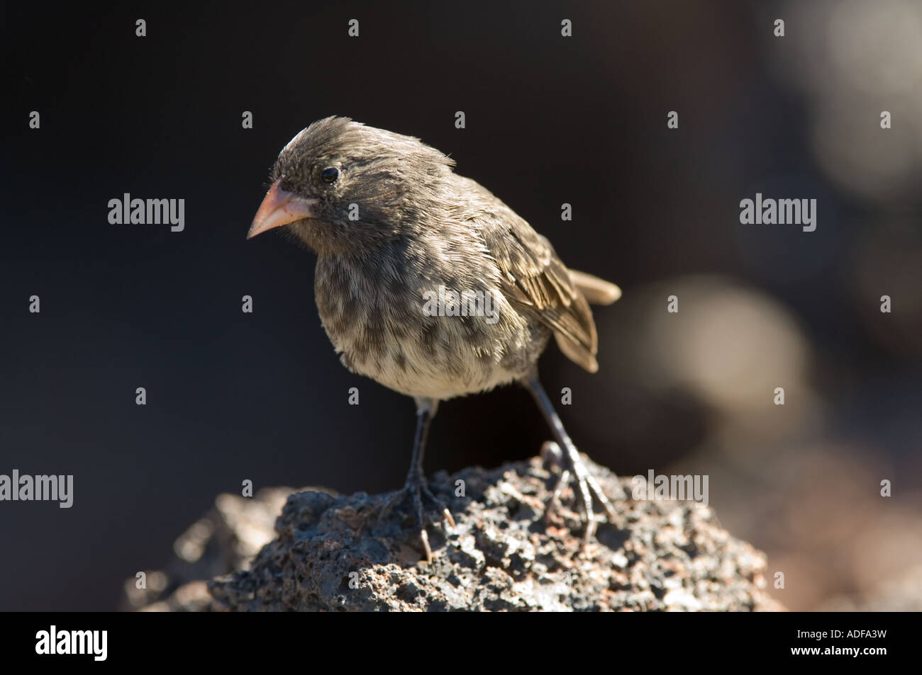 Small-billed Ground Finch (Geospiza fuliginosa) juvenile female, perched on rock Darwin Bay Genovesa Galapagos Ecuador, - Stock Image