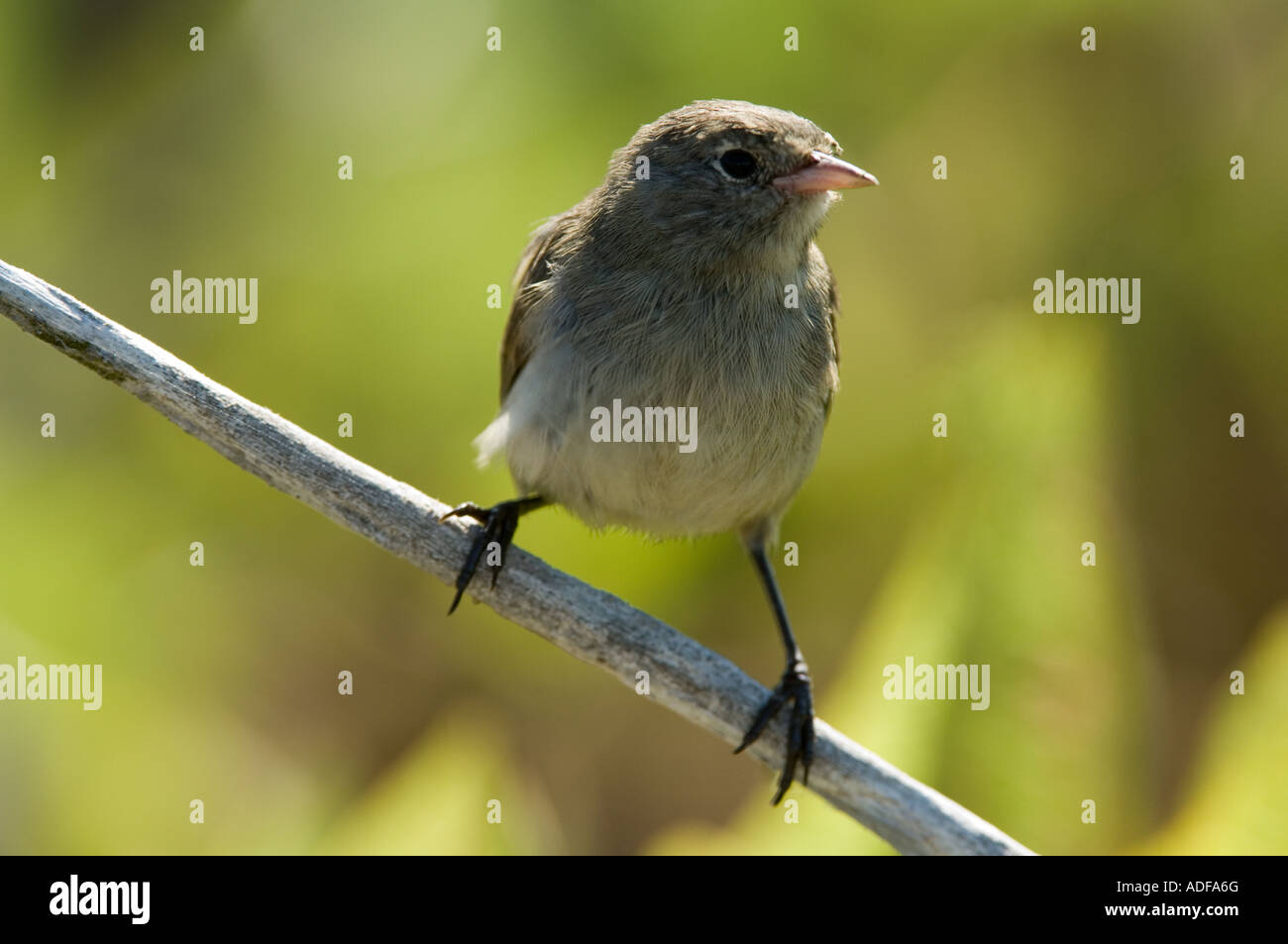 Grey Warbler Finch (Certhidea fusca) perched on branch Darwin Bay Genovesa Galapagos Ecuador Pacific Ocean South - Stock Image